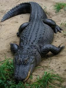 American_Alligator