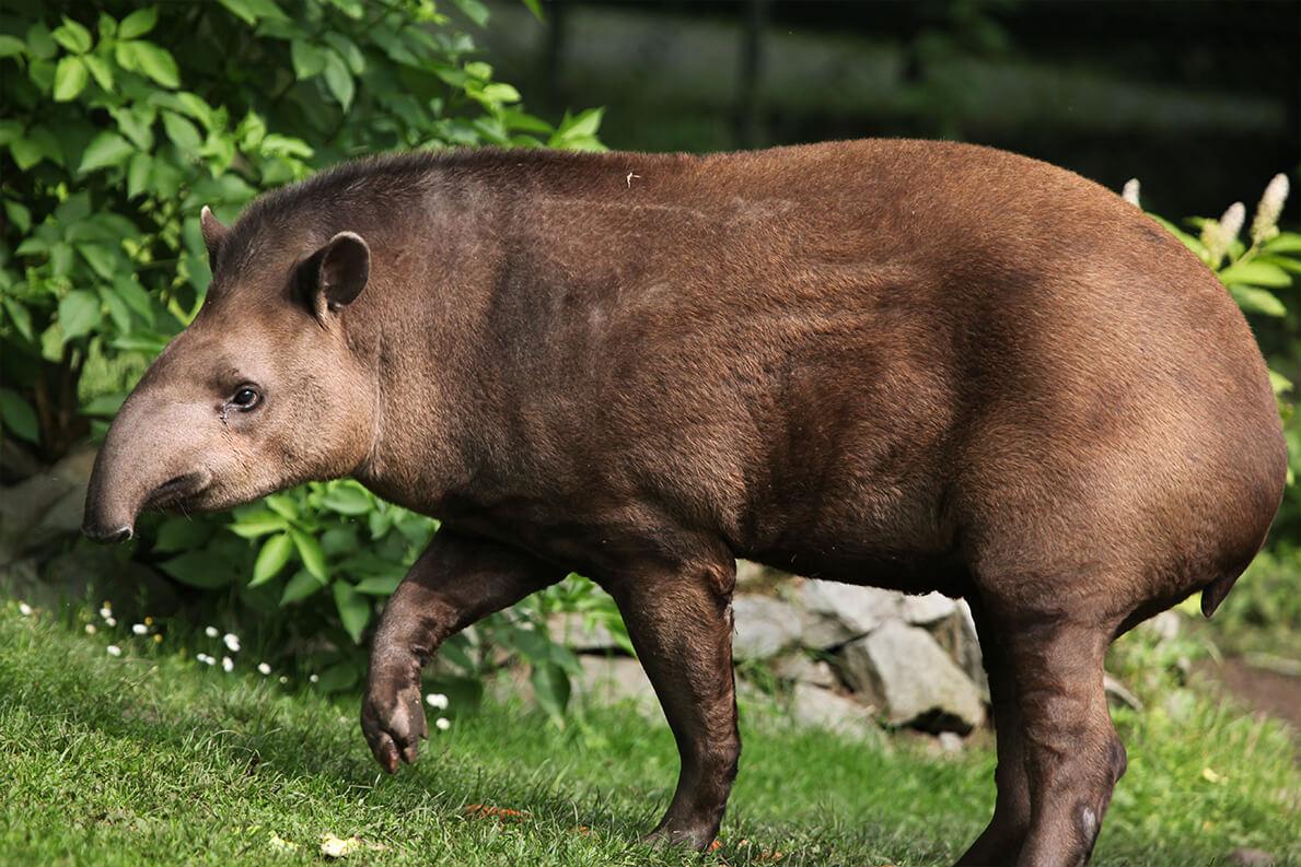 tapir_lowland_1