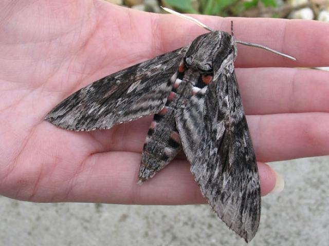 convolvulus-hawk-moth-4_for_web_mp