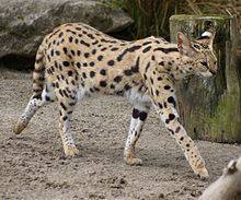 Serval_at_Auckland_Zoo_-_Flickr_-_111_Emergency