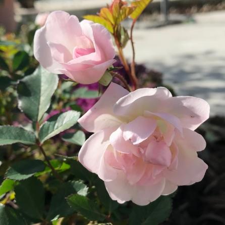 cropped-rose
